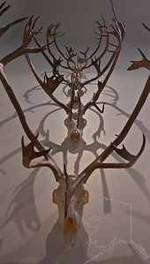 Caribou horns. University of Alaska Museum of the North. The museum's research collections – 1.4 million artifacts and specimens – represent millions of years of biological diversity and thousands of years of cultural traditions in the North. The collections are organized into 10 disciplines (archaeology, birds, documentary film, earth sciences, ethnology/history, fine arts, fishes/marine invertebrates, insects, mammals, and plants) and serve as a valuable resource for research on climate change, genetics, contaminants and other issues facing Alaska and the circumpolar North. The museum is also the premier repository for artifacts and specimens collected on public lands in Alaska and a leader in northern natural and cultural history research. http://www.uaf.edu/museum/