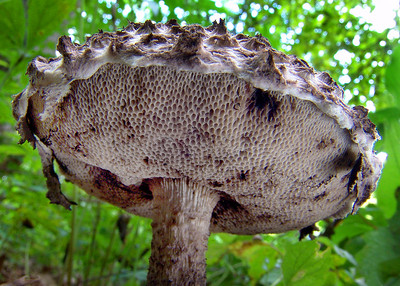 "This is Strobilomyces strobilaceus, the ""Old Man of the Woods""."