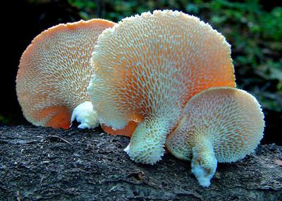 Polyporus alveolaris, the hickory stick polypore.