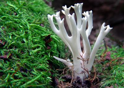 A white coral fungi.