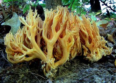 A coral fungi.