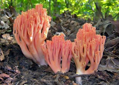 A pink coral fungi.