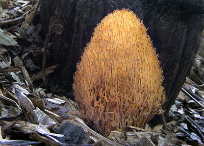 Note the unique shape of  this Ramaria stricta.