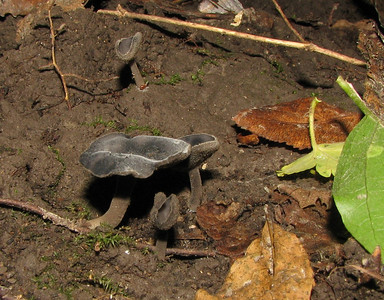This tiny Helvella was hard to see under the leaf litter. Photo was taken after the leaves were removed.