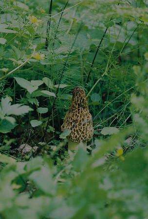 This tasty morel mushroom is hiding.