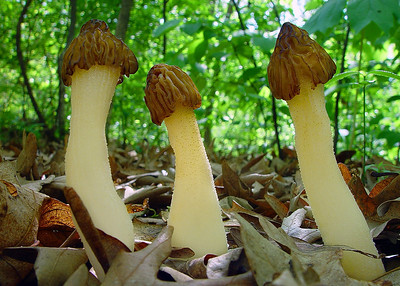 "The cap is attached to the stem at about the mid point of Morchella semilibera, hence the common name ""half-free morel""."
