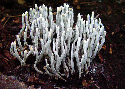 These Xylaria hypoxylon look like little matchsticks.