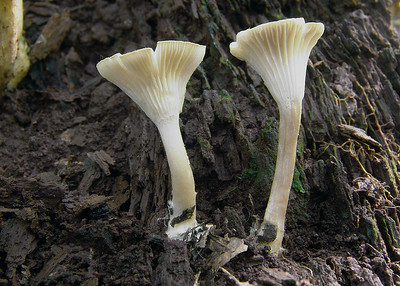 "These are near the base of a dead oak . Numerous honey mushrooms also present. These are 3"" tall and flat across the top."