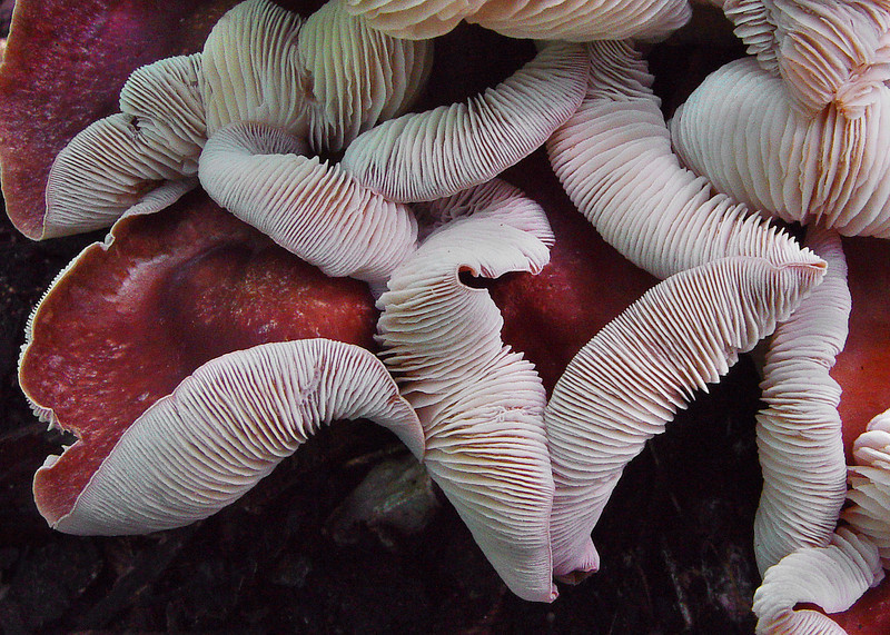 """The mushrooms in this photo are about 10% of the group. They are growing on the ground, and are 5-6"""" tall."""