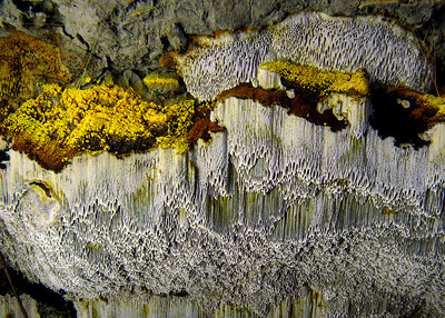This pic shows the lower portion of a cottonwood log. The yellow spores come from this pore bearing fungus.