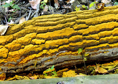 This is a cottonwood log covered with bright yellow spores. Check the next photo.
