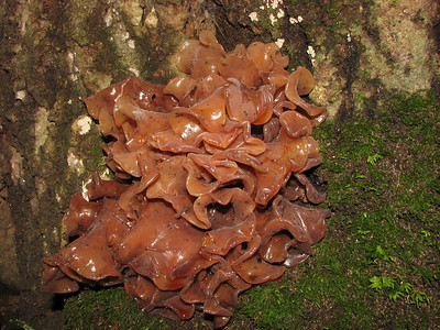 Tremella foliacea, a jelly fungus.