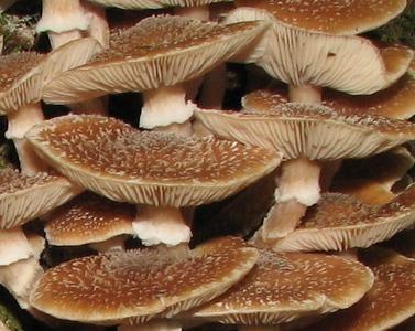 Armillaria sp. Common name: Honey mushroom.