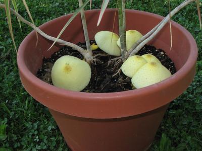 Leucocoprinus luteus, the flower pot mushroom.