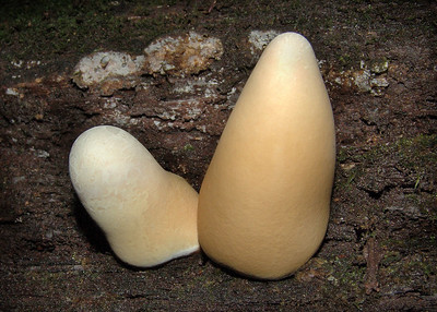 "These exotic ""dough boy"" fingers were found in Wild Cat Den State Park."