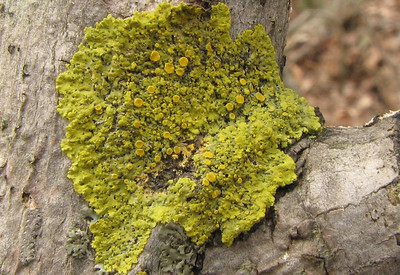 This lichen was found in central Minnesota. It has a nice lime-green color.