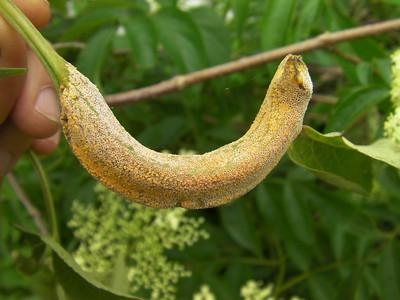 Puccinia bolleyana
