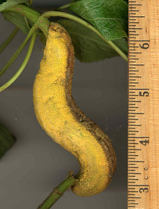 Puccinia bolleyana scan