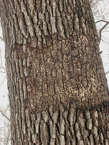This fungi causes the outer bark layer of oak trees to slough off in patches.