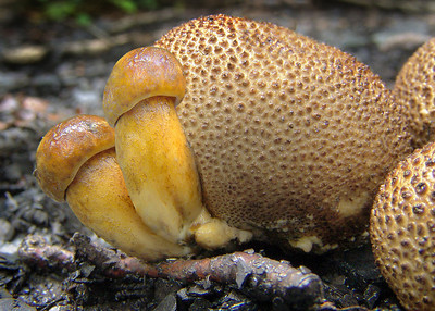 The yellow fungi here (with cap) is the parasitic bolete. It grows on the fruitbodies of Scleroderma, the earthball fungi.
