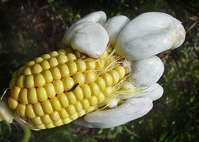 Yes, corn smut is a fungus.