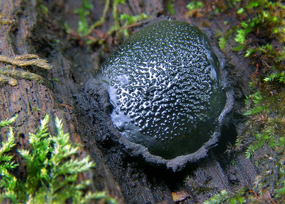 This fungi was first found in Iowa just a few years ago. It is not very common.
