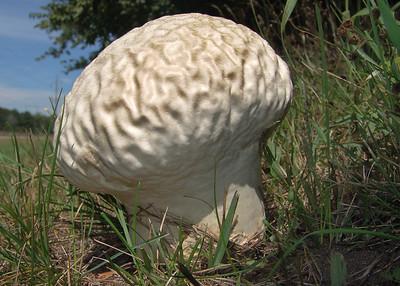 "Calvatia craniformis, the ""brain"" puffball."