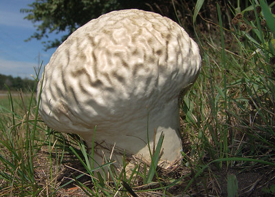 "Calvatia craniformis, the ""brain"" puffball."