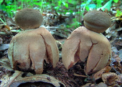 The beaked earthstar Geastrum pectinatum.