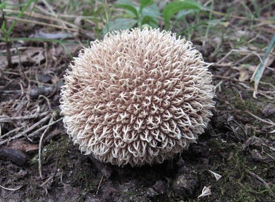 Spiney Puffball