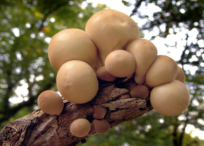 Brown puffballs.