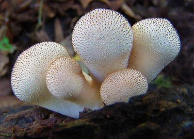 Lycoperdon perlatum, the gem studded puffball.