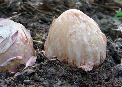 "Phallus ravenelli, in the ""egg"" stage."