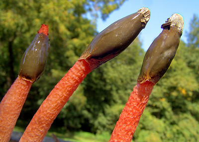 A common stinkhorn.