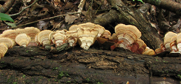 "Trametes versicolor, commonly called ""Turkey Tail""."