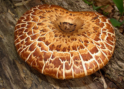 The cap of Polyporus squamosus.