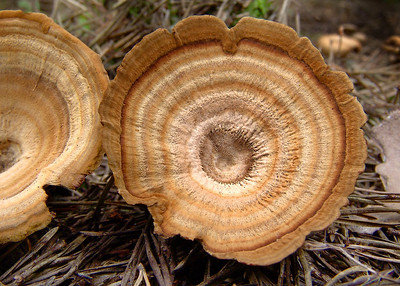 The zoned (rings) and striated (radial lines) of Coltricia perennis.