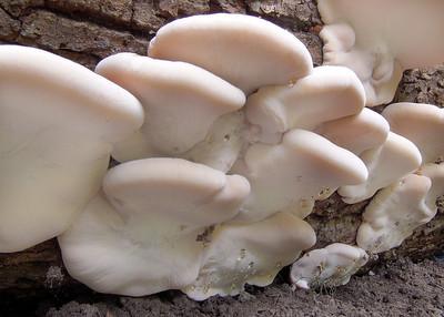 Tyromyces chioneus?