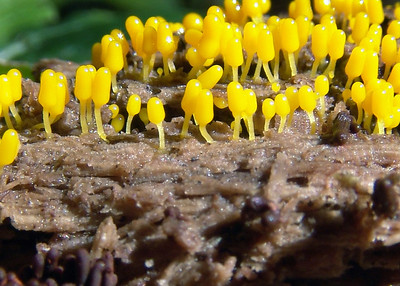 These yellow slime mold are very small.