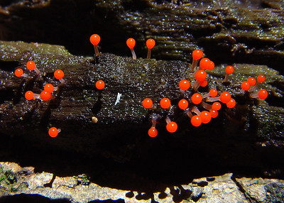 This is the slime mold Hemitrichia calyculata.