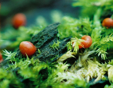 These slime molds are very small. The green stuff in the picture is moss.