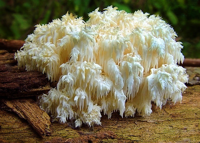 Hericium coralloides.