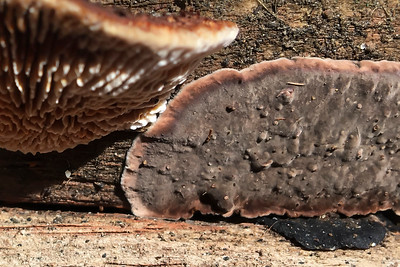 Rusty Gilled Polypore