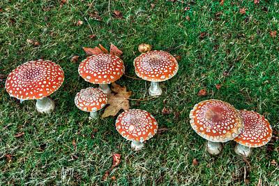 red-mushrooms-1