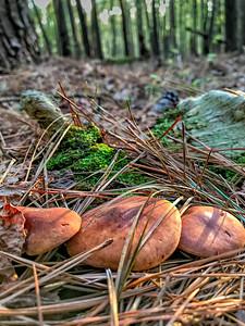 Mushrooms and Pine Needles