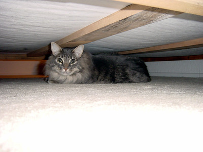 Meeko hides under the bed