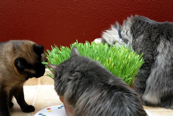 Mushu Bella and Meeko eat grass