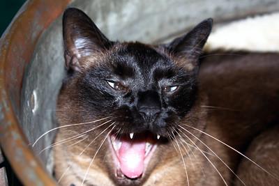Mushu in copper pot yawning (cu)