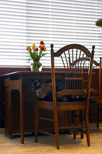 Mushu under tulips in kitchen (reduced res)