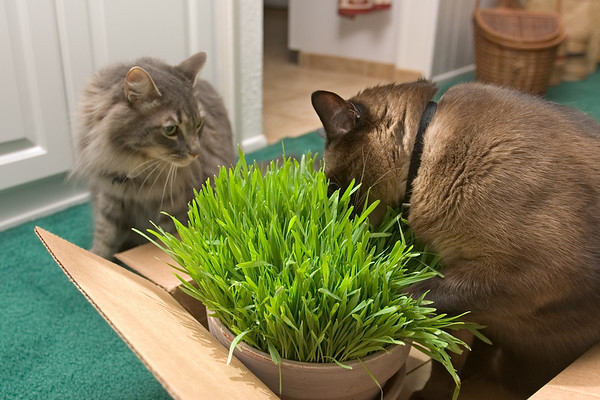 JUNE - It's summertime...which means time for cat grass!